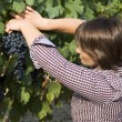 Woman picking grapes — Stockfoto