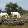 Camargue horses grazing — Stock Photo