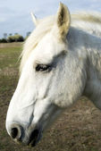 Camargue horse — Stockfoto