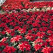 Poinsettias in a greenhouse — Stock Photo
