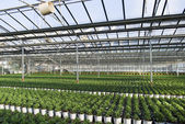 Commercial plants growing in greenhouse — Stock Photo