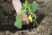 Planting seedlings — Stock Photo