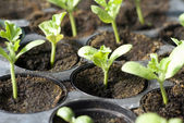 Organic vegetable seedlings — Stock Photo