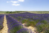 Lavender fields, Valensole, France — Stock Photo