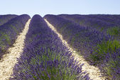 The famous lavender fields in the plateau Valensole — Zdjęcie stockowe
