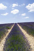 The famous lavender fields in the plateau Valensole — Stock Photo