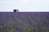 Lavender field in Valensole — Stock Photo