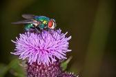 Grüne fliege — Stockfoto