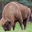 European Bison - Stock Photo