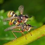 Mating Flies — Stock Photo