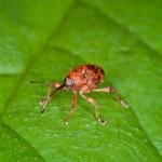 Weevil — Stock Photo #18890409