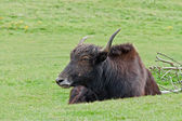 Resting Yak — Stock Photo