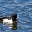 Tufted Duck — Stockfoto