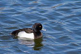 Tufted Duck — Stock Photo