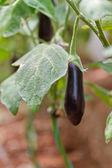 Eggplant — Zdjęcie stockowe