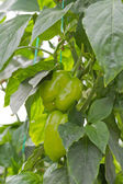Green Bell Peppers — Stock Photo