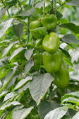 Pepper Crop — Stock Photo