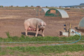 Pig Farm — Stock Photo