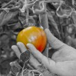 Stock Photo: Ripening Tomato
