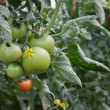 Tomato Crop — Stock Photo #26204819