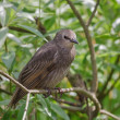 Juvenile Starling — Foto Stock