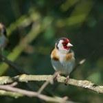 Goldfinch — Stock Photo #27940247