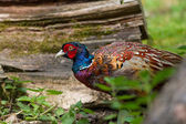 Colourful Pheasant — Stock Photo
