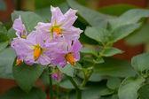 Potato Plant — Stock Photo