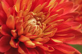 Chrysanthemums Flower — Stock Photo