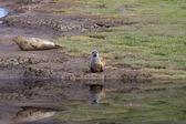 Grey Seals — Stock Photo