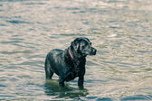 Labrador — Stock Photo