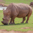 Stock Photo: Grazing Rhino