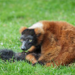 Stock Photo: Red Ruffed Lemur