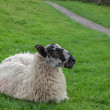 Resting Sheep — Stock fotografie