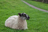 Resting Sheep — Stockfoto