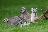 Ring Tailed Lemurs — Stock Photo