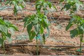 Pepper Plants — Stockfoto
