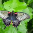 Mormon Butterfly — Stock Photo