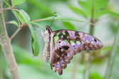 Tailed Jay Butterfly — Stock Photo