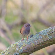 Stock Photo: Dunnock