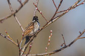 Male Reed Bunting — Stock Photo