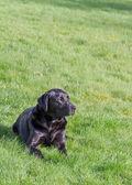 Labrador geri almak — Stok fotoğraf