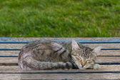 Sleeping Tabby Cat — Stock Photo
