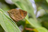 Dead Leaf Butterfly — Stock Photo