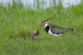 Northern Lapwing — Stock Photo