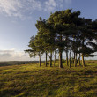 Clump of Scots Pine Trees — Stock Photo