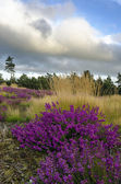 Bell Heather and Grasses — Photo