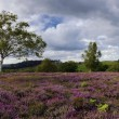 Purple Heather in Bloom in the New Forest - Stock Photo