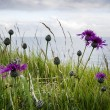 Greater Knapweed — Stock Photo