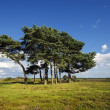 Scots Pine Trees — Stock Photo